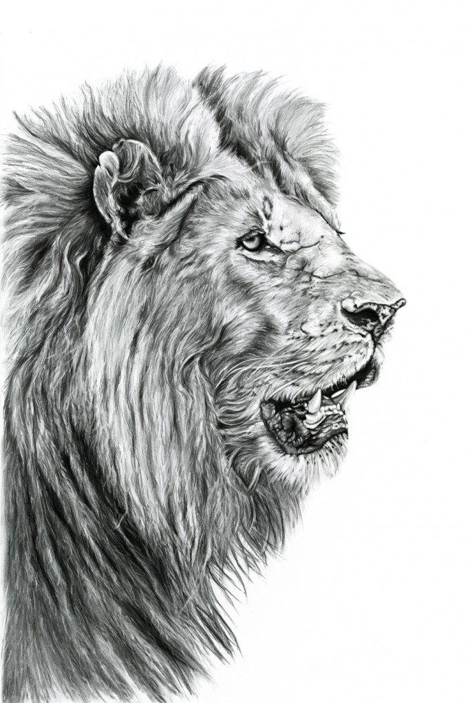 A male lion reflecting the strength and beauty of this powerful African animal