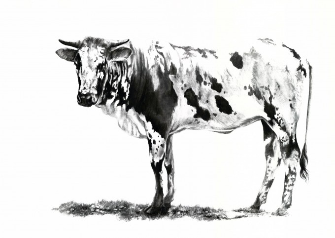 Nguni cow -  African cattle known for their unique and beautiful markings