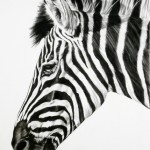 A single Zebra head - a striking animal with it's powerful black and white stripes