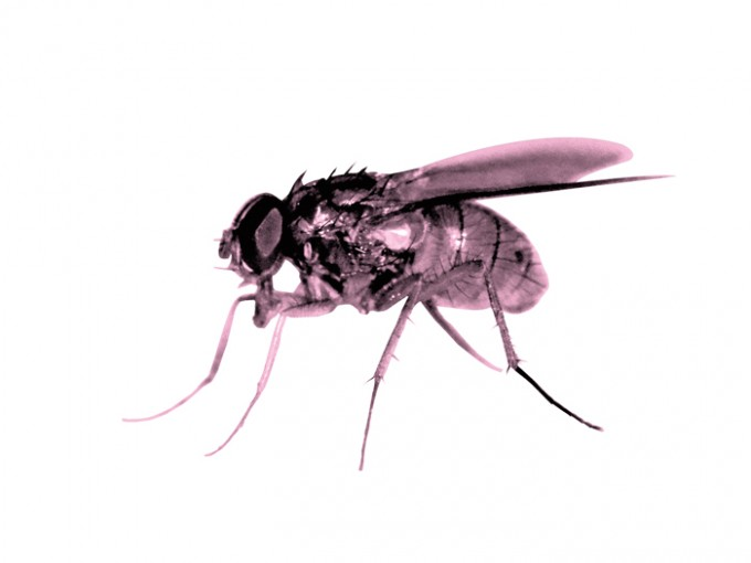 Pink Fly - 2015