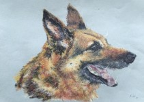 Pet portrait of a german shephard dog - oil pastels on textured paper - by Kelly Goss