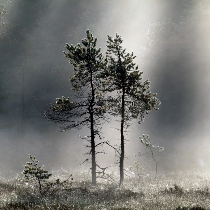 Pine trees in morning mist, lighted by rising sun.