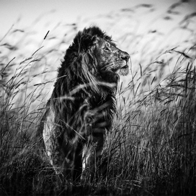 3759-Lion in the grass I, Kenya 2013 © Laurent Baheux