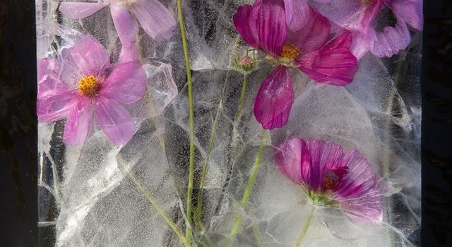 Amazing Pictures of Frozen Flowers by Bruce Boyd