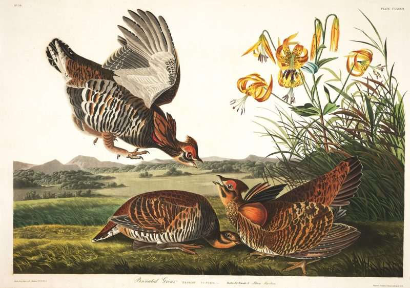 Illustrations from John J Audubon's 'Birds of America'