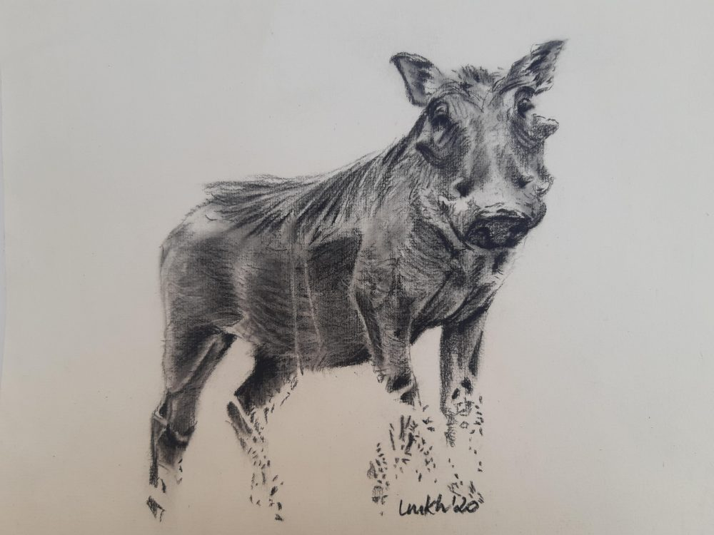 Charcoal drawing of a warthog
